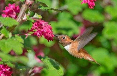 Image of Fototapeta rufous hummingbird feeding flowering currant