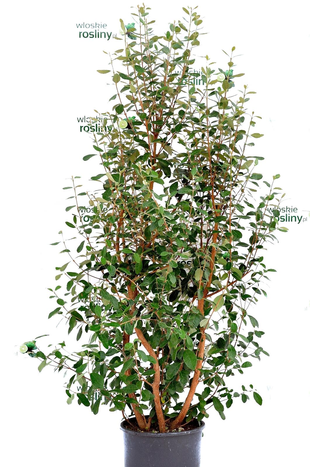 Image of Akka sellowa duży krzew