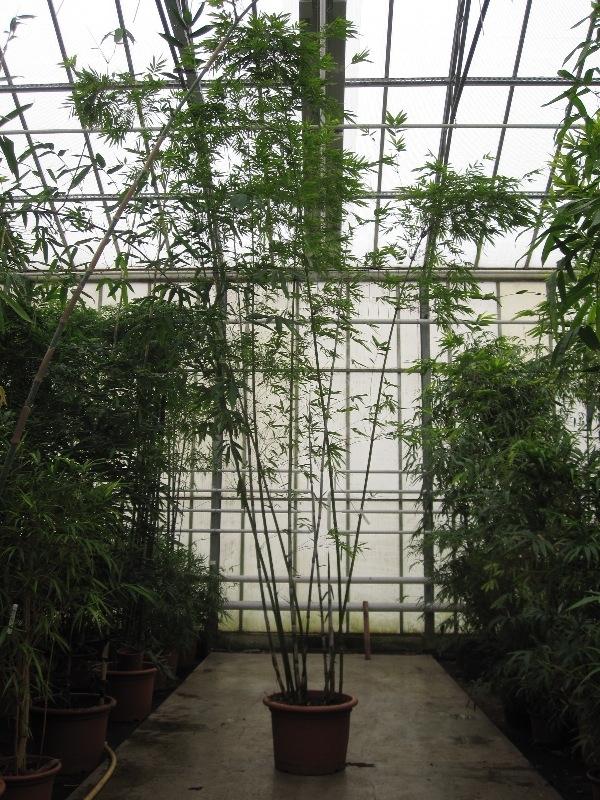 Image of Bambusa chungii