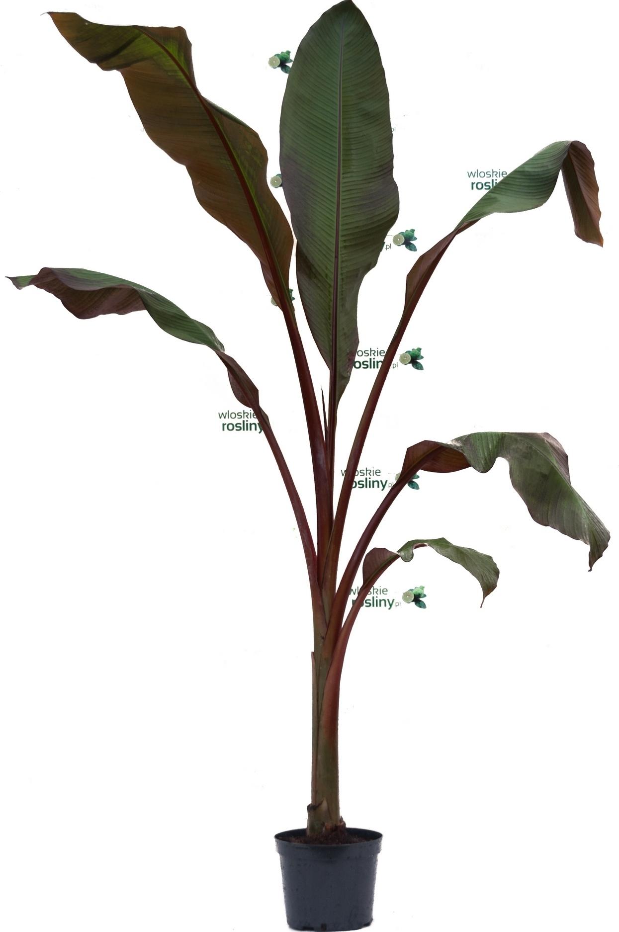 Image of Bananowiec ensete maurelii duże drzewo