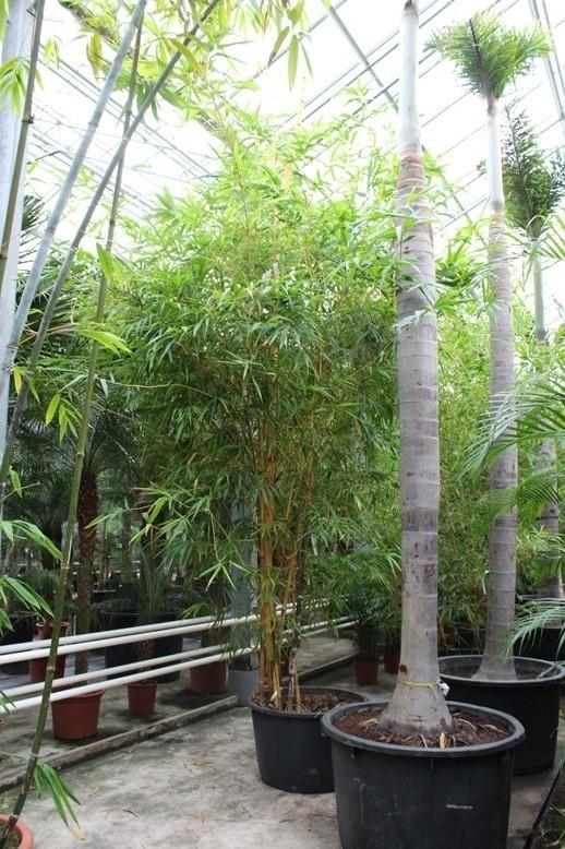Image of Bambusa vittata