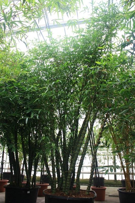 Image of Bambusa ventricosa