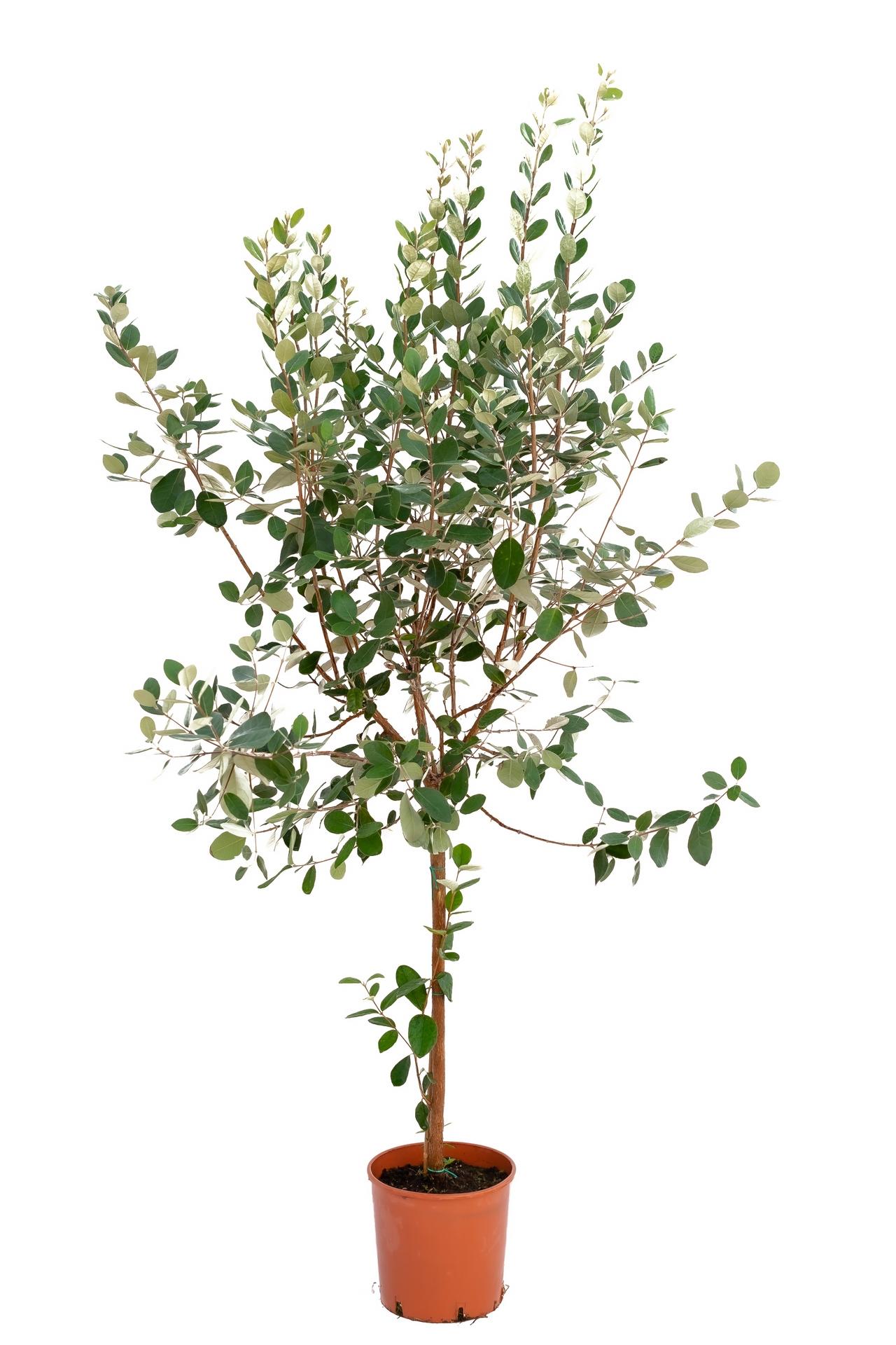 Image of Akka sellowa duże drzewko